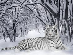 Resultados da Pesquisa de imagens do Google para http://www.superwallpapers.com.br/fotos-gratis/lindo-tigre-branco-na-neve.jpg