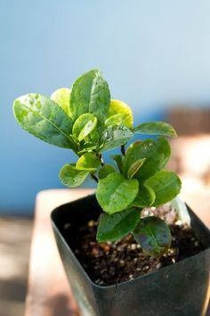 Homegrown tea: How to raise your own brewable plants
