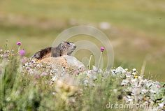 Marmot in a field in Gran Paradiso national park
