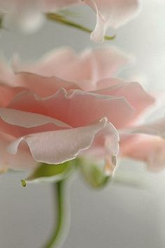 5365995b5ab1a8 Soft Pink Rose.. Couleur Rose, Pivoine, Fleurs Coupées, Planter Des Fleurs