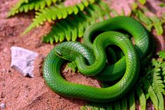 This was the first snake I ever caught by myself. I lightly stepped on the tail and guided the head into a pop bottle. Smooth green snake