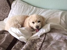 i found a peanut in bed! Peanut Pictures, Mini Poodles, Poodle Mix, Life Photo, Dog Life, Dogs, Animals, Bed, Animales