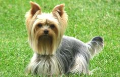 I like the haircut on this Yorkie.  My Calvin would look good in this cut.