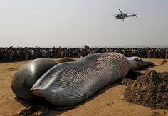 Photographer Danish Siddiqui Location MUMBAI, INDIA Reuters / Friday, January 29, 2016 A coast guard helicopter flies over the carcass of a dead whale on a beach along the Arabian Sea in Mumbai, India, January 29, 2016.