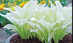Pre-Order: White Feather Hosta Bare Roots (3-Pack): Pre-Order: White Feather Hosta Bare Roots (3-Pack)