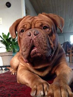#French #Mastiff