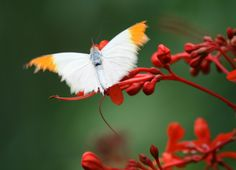 white with orange tipped wings on red flowers