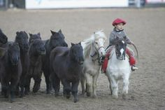 A mini horse round up? This is adorable...
