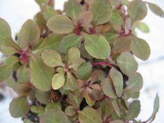 Lobelia sp. mini 15 stems
