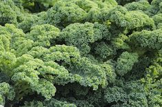 While the kale craze may have dwindled, there's no denying that this leafy vegetable is truly a Queen of Greens. Kale packs a serious nutritional punch, surpassing spinach for it's nutrient density.Kale Health BenefitsHigh in fibre, w. Le Kale, Le Chou Kale, Fall Vegetables, Growing Vegetables, Veggies, Perennial Vegetables, Natural Cancer Cures, Natural Cures, Smoothie Vert