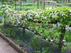 Espalier apple trees = edible fence