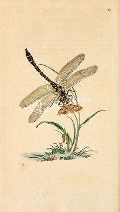 - The natural history of British insects : - Biodiversity Heritage Library Dragonfly Illustration, Dragonfly Drawing, Dragonfly Art, Butterfly Art, Botanical Illustration, Illustration Art, Illustrations, Butterflies, Nature Collage