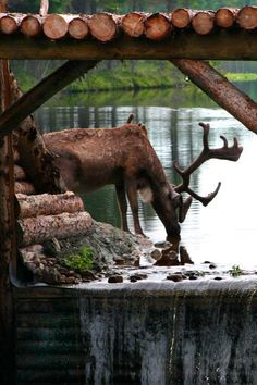 Taken during 24 hours with the caribou Zoo St Felicien, by Diane Adventure Photos, Adventure Travel, Awsome Pictures, Living In Alaska, Scenic Photography, Closer To Nature, All Gods Creatures, Canada Travel, Beautiful World