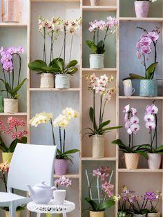 Die elegante Phalaenopsis - Pflanzenfreude.de