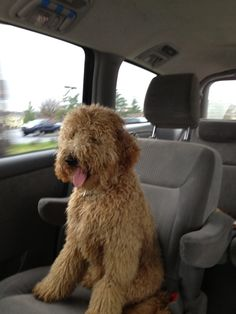 Golden Doodle just sitting in the car