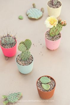 See the best way to root cactus pads to grow new plants!