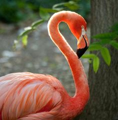 American Flamingo / From The Denver Zoo Denver Zoo, Visit Denver, Flamingo Painting, West Indian, Animal Species, Photo Reference, Pink Flamingos, Yard Art, American