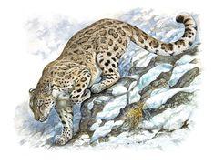 Panthère des neiges ou once. Panthera uncia. Aquarelle et gouache. 50 x 65 Collection Emile Hermès