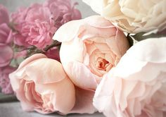 blush pink garden roses. In white with baby's breath for bride bouquet  Perfect Jenny!