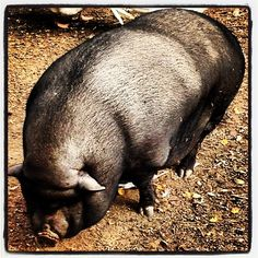 #sangimignano #italy #tuscanygram #tuscany #pig #darkpig #vietpig #fattoria #country #farm #animal #sandonatofarm | by isociomatt