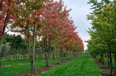 Acer x freemanii 'Autumn Blaze' (syn. 'Jeffersred')