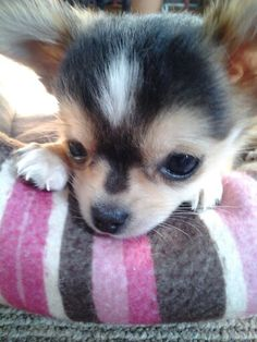 Has a sweet face like my new chi baby girl. Chihuahua Puppies, Cute Dogs And Puppies, I Love Dogs, Adorable Puppies, Chihuahuas, Doggies, Beautiful Dogs, Animals Beautiful, Baby Animals
