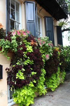 The best window box is the one you can't see. Whatever you planted in there should be so happy that it cascades down the wall to spill onto the sidewalk, threatening to trip passersby. Coleus, sweet potato vine, and caladium: They like a little shade, which makes them the perfect combination to plant beneath a balcony or eave. Water them every day. Image via Stately.
