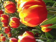 Tulips @ The Floriade