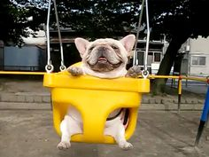 Fat Frenchie on the swings=)