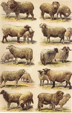 Merino Sheep Breeds | 1901 Sheep Breeds, Merino, Rambouillet, Shropfshire, Negretti etc ...