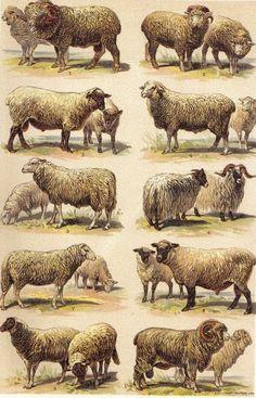 Merino Sheep Breeds | 1901 Sheep Breeds, Merino, Rambouillet, Shropfshire, Negretti etc ...