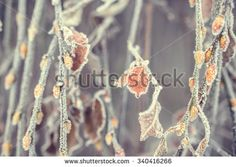 Plant covered with frost, hoarfrost or rime in winter morning, natural background. Vintage colur - stock photo