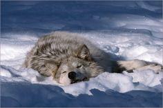 sleeping wolf in snow - sleeping wolf in snow
