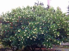 strawberry tree - Google Search