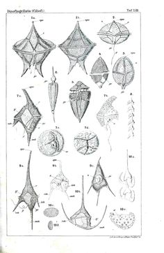 Vintage dinoflagellate descriptive plate. Why do old drawings look so stinking cool?