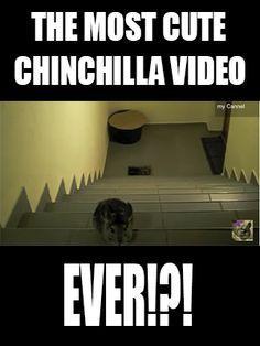 The Most Cute Chinchilla Video Ever?
