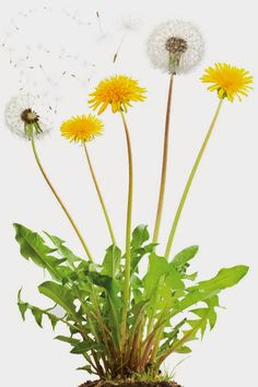 Dandelion root, a tonic for the liver. Dandelion leaves, nourishing to the whole body. Dandelion flower make a wonderful wine. Dandelion Uses, Dandelion Benefits, Dandelion Flower, Dandelion Plant, Dandelion Leaves, Best Edibles, Wild Edibles, How To Kill Dandelions, Organic Weed Control