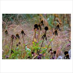 Echinacea seedheads and Panicum virgatum 'Hanse Herms' at Knoll Gardens, Dorset in October