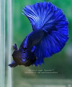 Guppies are a very easy-to-breed fish species. They also adapt quickly to their environment and this is what makes them perfect for beginner aquarists. Here is Different Types of Guppies In The World Beautiful Fish, Beautiful Pictures, Goldfish Tank, Beta Fish, Siamese Fighting Fish, Halfmoon Betta, Guppy, World, Environment