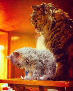 Selkirk Rex Du Berger 🇨🇦 Selkirk Rex, Rex Cat, T Rex, Curly Haired Cat, Laperm, Cats And Kittens, Lion, Pets, Animals