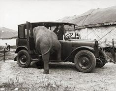 Circus elephant getting into taxi cab by Harry Atwell