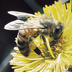 We'd better BEE a lot more protective of these guys or we're all going on a very strict diet.