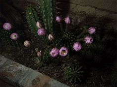 annimated opening flowers | Watch these Easter Lily cacti bloom before your very eyes! . This ...