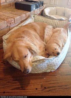 golden-retrievers-share-a-bed