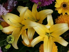 Yellow stargazer lily. Erika this is a great color lily too!