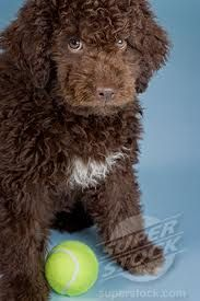 Lagotto Romagnolo puppy.... looks just like our Lucy!