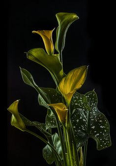 The Yellow Calla Flower and the Leaf by Bill Gracey