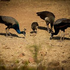 Pecking order- watching over a group of peacock and peahen as they busily peck on ants while some of the little chicks work at their skills is quiet a sight to behold. Nature has its beautiful way of nurturing its beings! #sensuous2spiritual #lonelyplanetindia  #incredible_india  #incredibleindia #icu_india #wu_india #oyeitsindia #nature #wildlife #ig_asia #adventure #canonphotography #exploration #exploringindia #indiaphotos #instatravel  #ipclub #ig_shots #icu_india #ig_india…