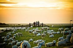 Dike sheep...