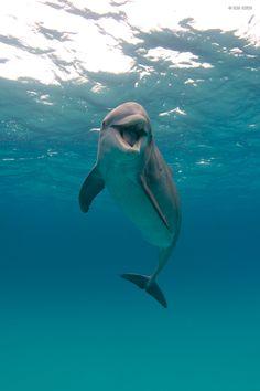 Wild bottlenose dolp